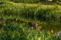Yellow iris on the riverside Royalty Free Stock Photo