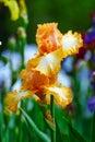 Yellow iris tectorum Royalty Free Stock Photo