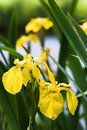 Yellow iris at the waterside flag or pseudacorus in summer Stock Photos