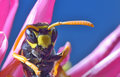 Yellow jacket wasp is collecting pollen and nectar from flowers Stock Photos