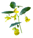 Yellow jewelweed pale touch me not wildflower isolated on white background Royalty Free Stock Photography