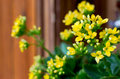 Yellow kalanchoe home flower in a flower pot Stock Images