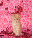 Yellow kitten and rose petals Royalty Free Stock Image