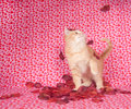 Yellow kitten and rose petals Royalty Free Stock Photography
