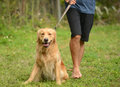 Yellow lab on leash with owner or guardian taking it for walk Royalty Free Stock Photography