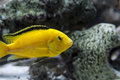 Yellow labidochromis african cichlid in aquarium Royalty Free Stock Image