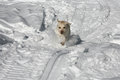 Yellow Labrador charging through the snow Royalty Free Stock Images