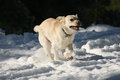 Yellow Labrador dog charging through the snow Royalty Free Stock Images