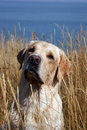 A yellow labrador in field Stock Photo