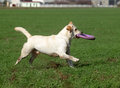 A yellow labrador playing in the field Royalty Free Stock Image
