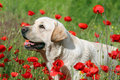 A yellow labrador in the poppy field Stock Images