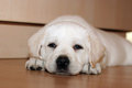 Yellow labrador puppy laying on the floor Stock Images