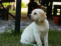 Yellow Labrador Retriever puppy Royalty Free Stock Photo