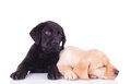 Yellow labrador retriever puppy sleeping next to its brother Royalty Free Stock Photo