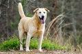 Yellow Labrador Retriever Siberian Husky mixed breed dog