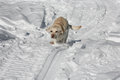 Yellow Labrador running through the snow Stock Photos