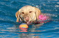 Yellow Labrador swimming with his ball Royalty Free Stock Photo