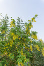 Yellow laburnum tree. Royalty Free Stock Photo