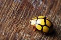 Yellow Lady Bug Royalty Free Stock Photo