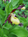 Yellow lady s slipper cypripedium calceolus in the forest in the south of primorsky krai russia Stock Photos