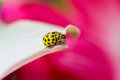 Yellow ladybird Royalty Free Stock Photo