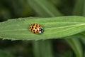 Yellow ladybug macro on green leaf background Royalty Free Stock Photo