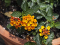 Yellow lantana in a terra cotta pot Royalty Free Stock Image