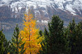 Yellow larch among the green firs in swiss mountains Royalty Free Stock Image