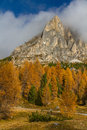 Yellow Larches and Dolomites-Passo Falzarego,Italy Royalty Free Stock Photo