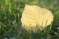 Yellow leaf with back lit in grass macro Royalty Free Stock Photography