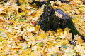 Yellow leaf litter and old stump in autumn at forest glade Stock Images
