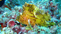 Yellow leaf scorpion fish, Maldives Royalty Free Stock Image