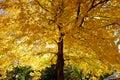 Yellow leaf on tree Royalty Free Stock Photo