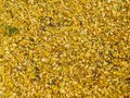 Yellow leafes that fell from trees on ground Royalty Free Stock Photo