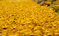 Yellow leaves with autumn colors thick carpet of Stock Photos