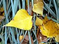 Yellow leaves autumn grass fall earth melanholy