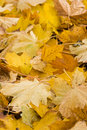 Yellow leaves in autumn - vertical Royalty Free Stock Photos