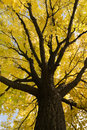 Yellow leaves background looking up at a beautiful tree with bright of autumn on a clear blue sky day in october great image for Royalty Free Stock Images