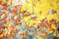 Yellow leaves beautiful in park autumn Stock Photography