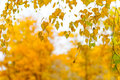 Yellow leaves on a branch autumn background birch Royalty Free Stock Images