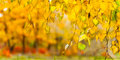 Yellow leaves on a branch autumn background birch Royalty Free Stock Photo