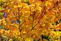 Yellow leaves detailed picture of a tree with on a sunny autumn day Stock Photo