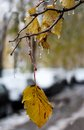 Yellow leaves encased in coating of ice Royalty Free Stock Photo
