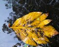Leaves fall in puddles, water reflection Royalty Free Stock Photo