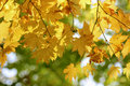 Yellow Leaves On Maple Tree Br...