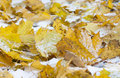 Yellow leaves on snow at late autumn or early winter Royalty Free Stock Images