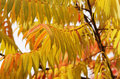 Yellow leaves of staghorn sumac close photo x rhus typhina x in autumn Royalty Free Stock Image