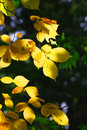 Yellow leaves in sunlight Royalty Free Stock Images