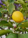 A yellow lemon in a tree and blossom Stock Images