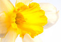 Yellow lent lily on white Royalty Free Stock Photo